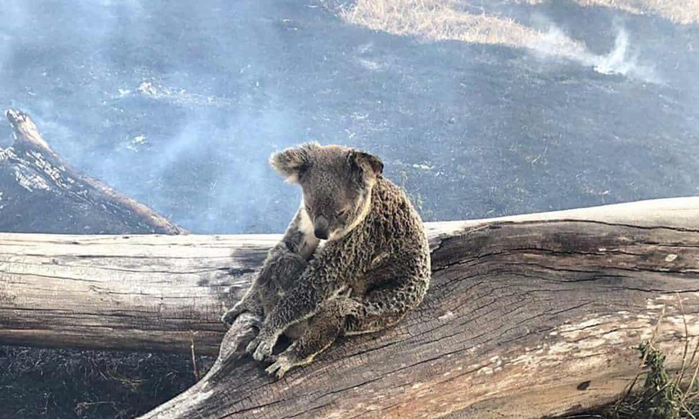 Koalas Affectdd By Bush Fires