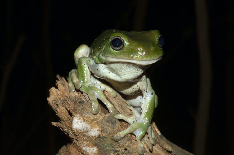 Green Tree Frog Jodi Rowley, Author provided